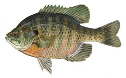 Bluegill drawing